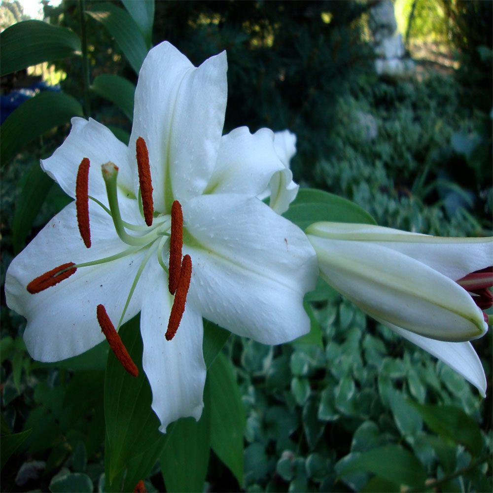 OnlinePlantCenter 1 gal. Casa Blanca Oriental Lily Plant