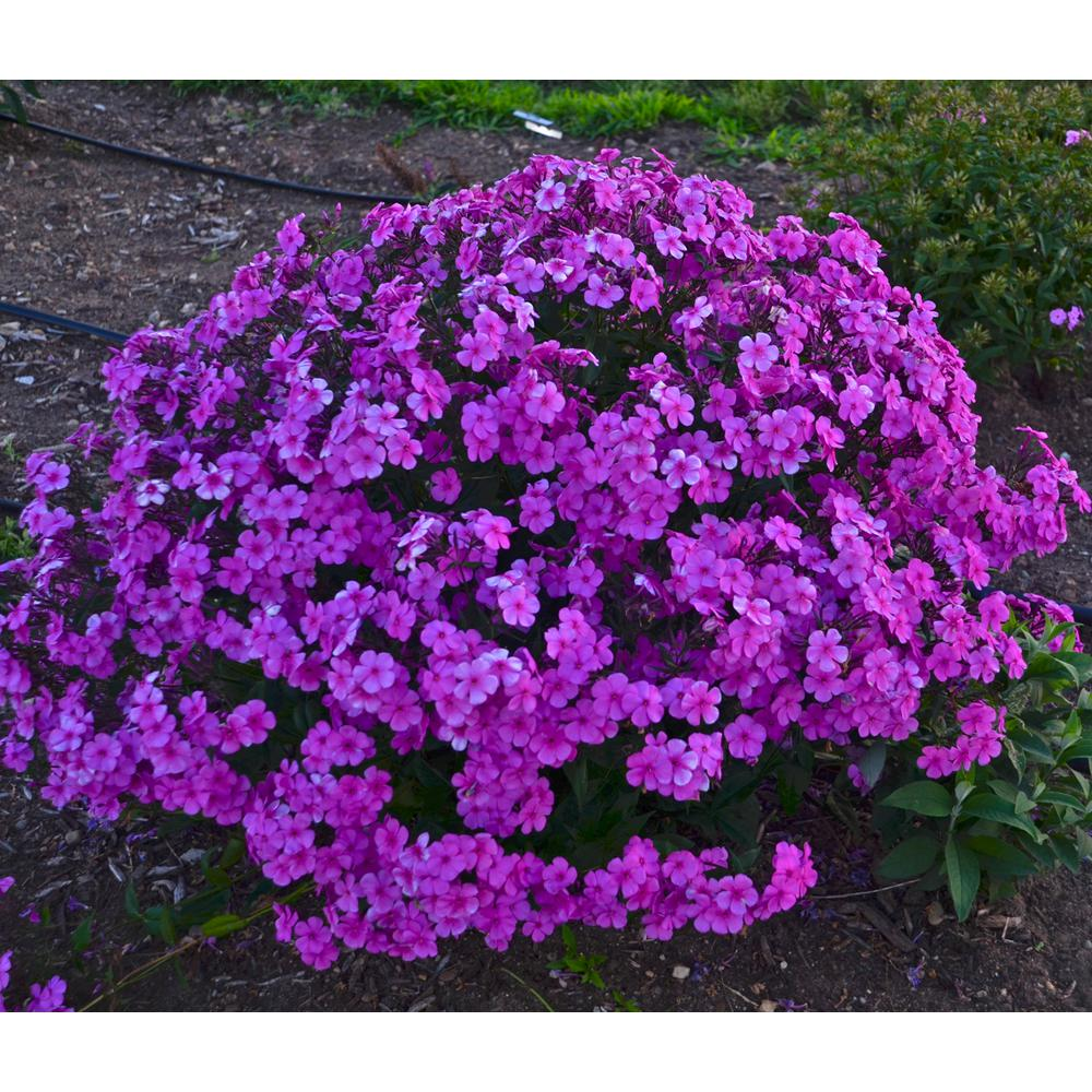 0.65 Gal. Cloudburst (Tall Cushion Phlox) Live Plant Purple Flowers
