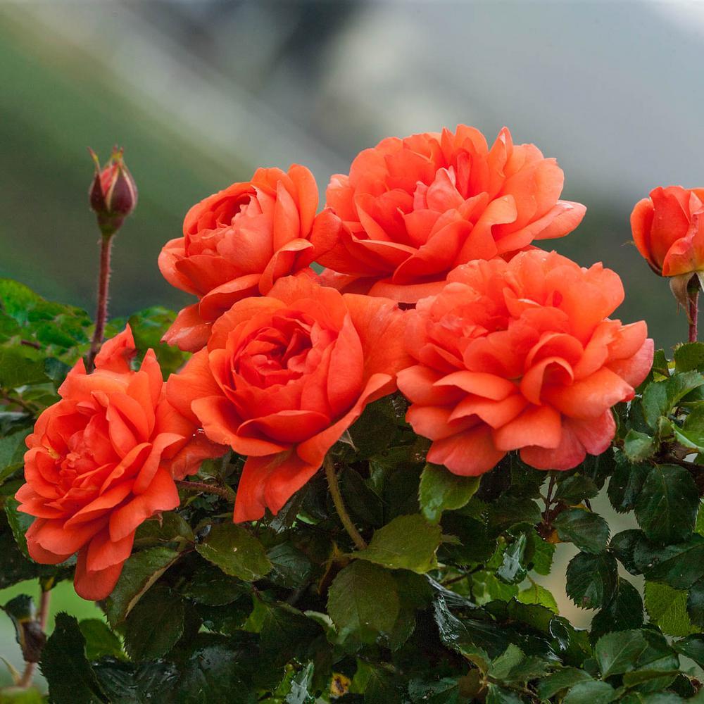 Above All Climbing Rose Live Bareroot Plant Salmon Orange Flowers (1-Pack)