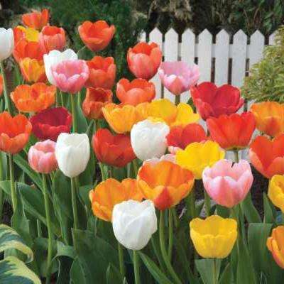 Mid-Season Flowering Mixed Color Tulip Bulbs (100-Pack)