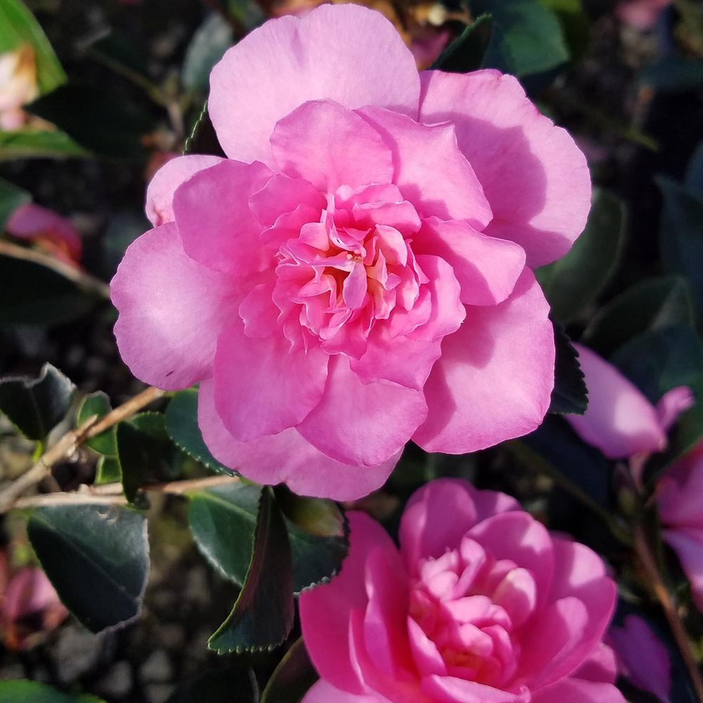 3 Gal. Usi Beni Camellia(sasanqua) - Evergreen Shrub with Pink Ruffled