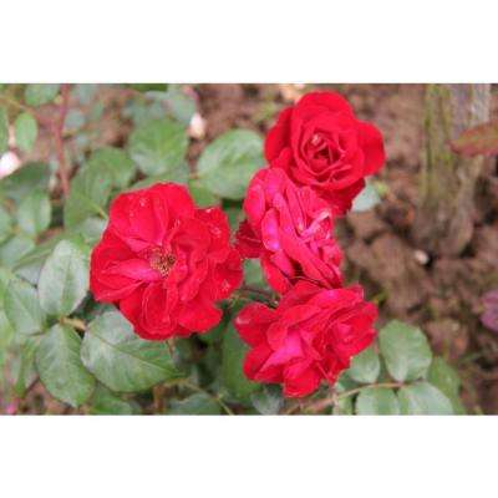 All Time Favorites Rose Europeana