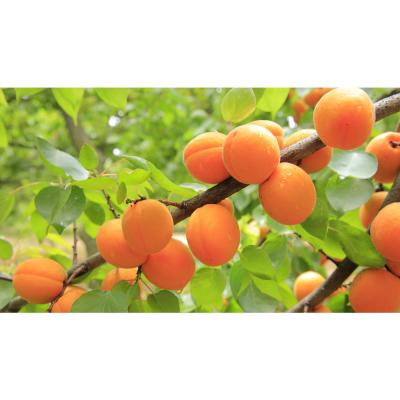 Dwarf Blenheim Apricot Tree (Bare-Root, 3 ft. to 4 ft Tall, 2-Years Old)