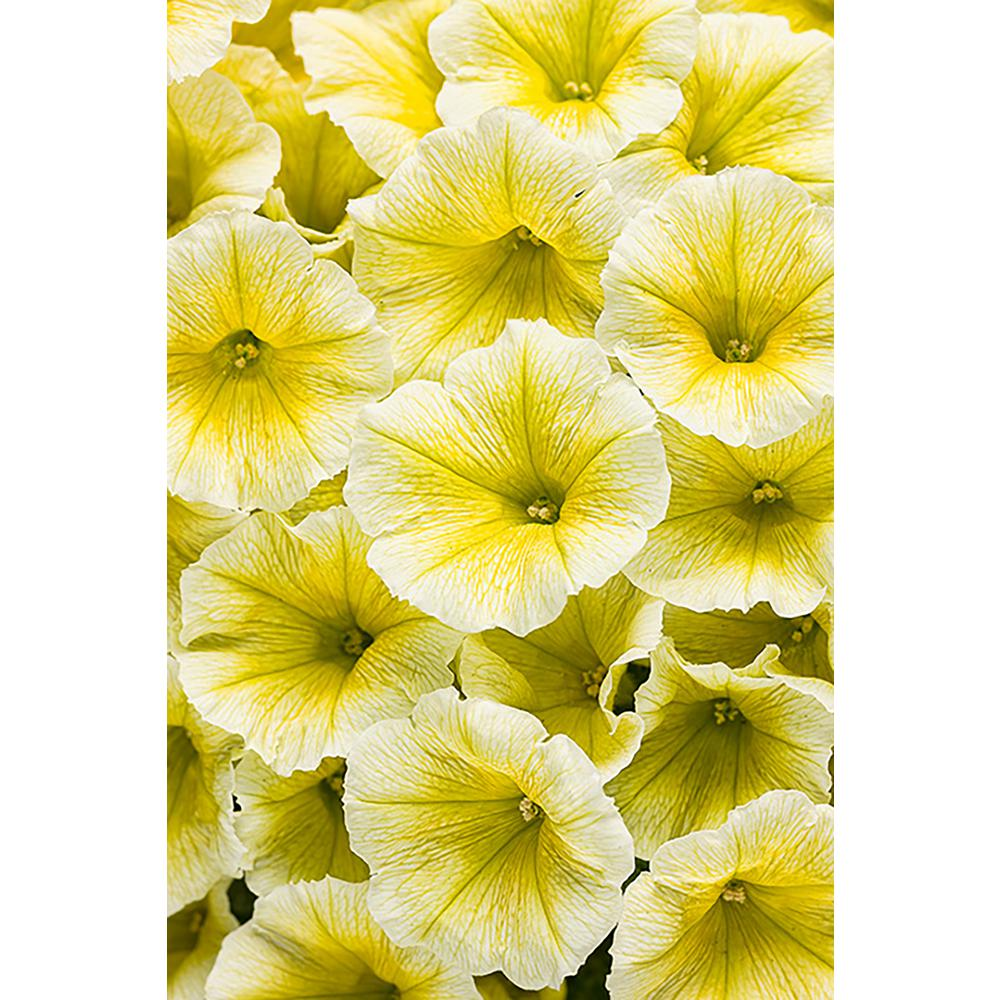Yellow annuals garden plants flowers the home depot supertunia limoncello petunia live plant yellow flowers 425 in grande izmirmasajfo