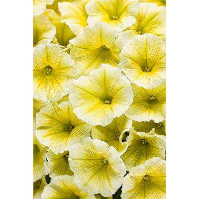 Supertunia Limoncello (Petunia) Live Plant, Yellow Flowers, 4.25 in. Grande, 4-pack
