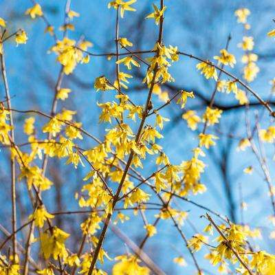 2 5 Qt Lynwood Gold Forsythia Live Deciduous Plant Yellow Flowers With Green Foliage
