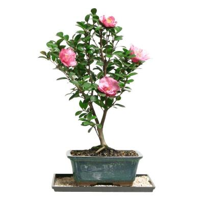 Camellia Hot Flash Bonsai
