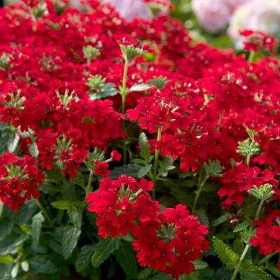 2 5 Qt Endurascape Red Verbena Perennial Plant With Cers Of Small Blooms