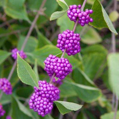 3 in. Pot Early Amethyst Beautyberry (Callicarpa) Live Deciduous Shrub Pink Flowers to Purple Berries