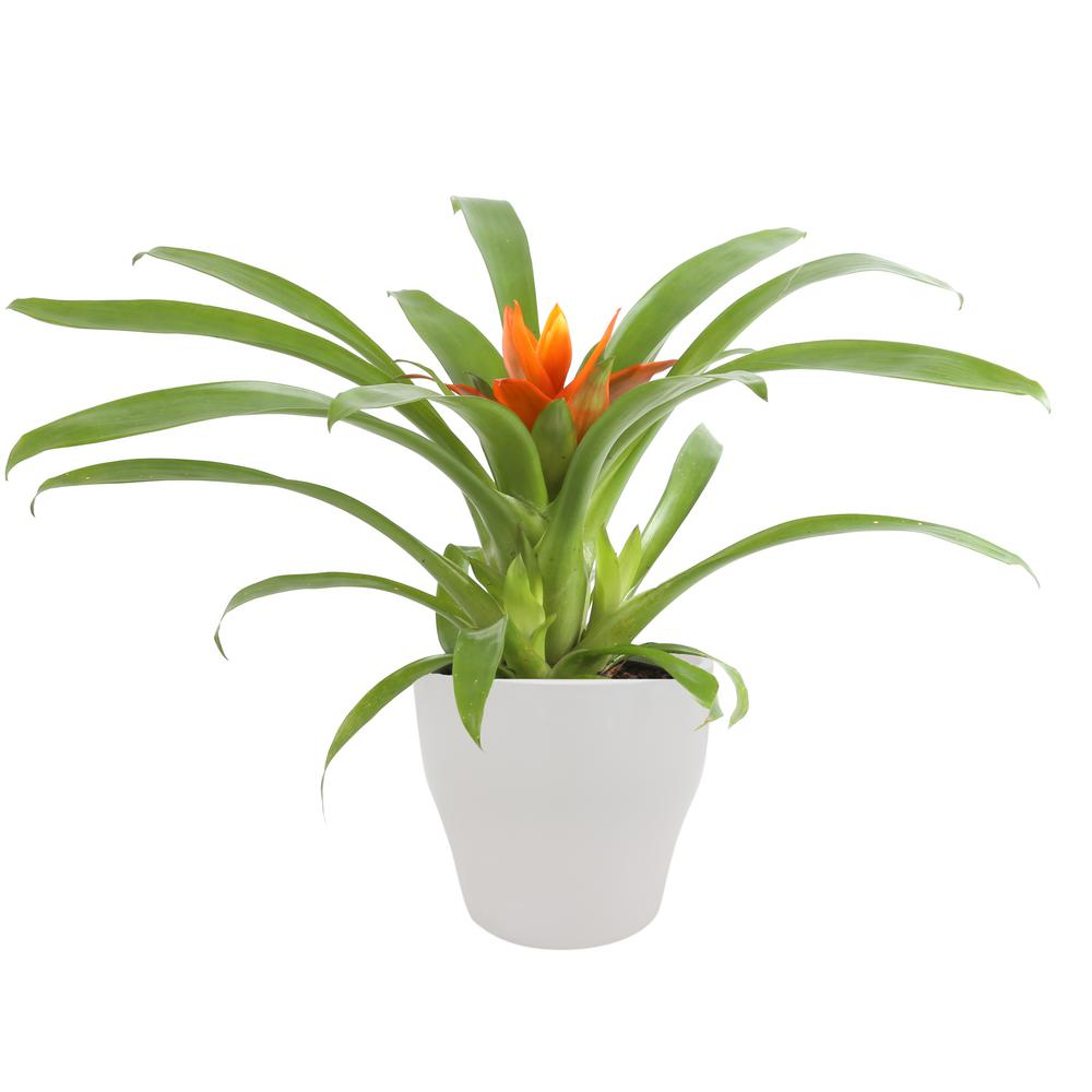 Costa Farms Bromeliad Plant Grower's Choice Colors in 4 in. Decor Por