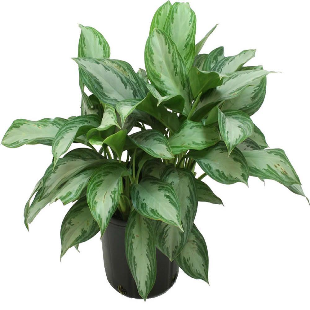 Costa Farms Aglaonema Silver Bay in 9.25 in. Grower Pot