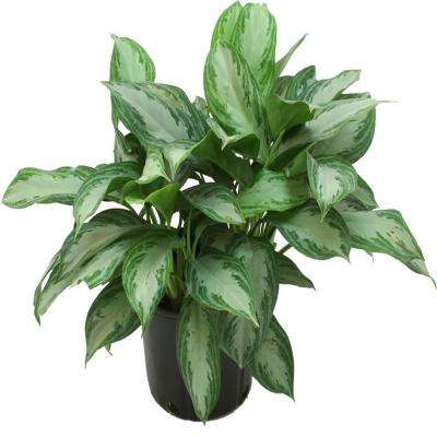 9-1/4 in. Aglaonema Silver Bay in Pot