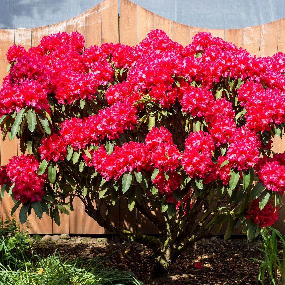 Spring Hill Nurseries Nova Zembla Rhododendrdron Starter Hedge Kit