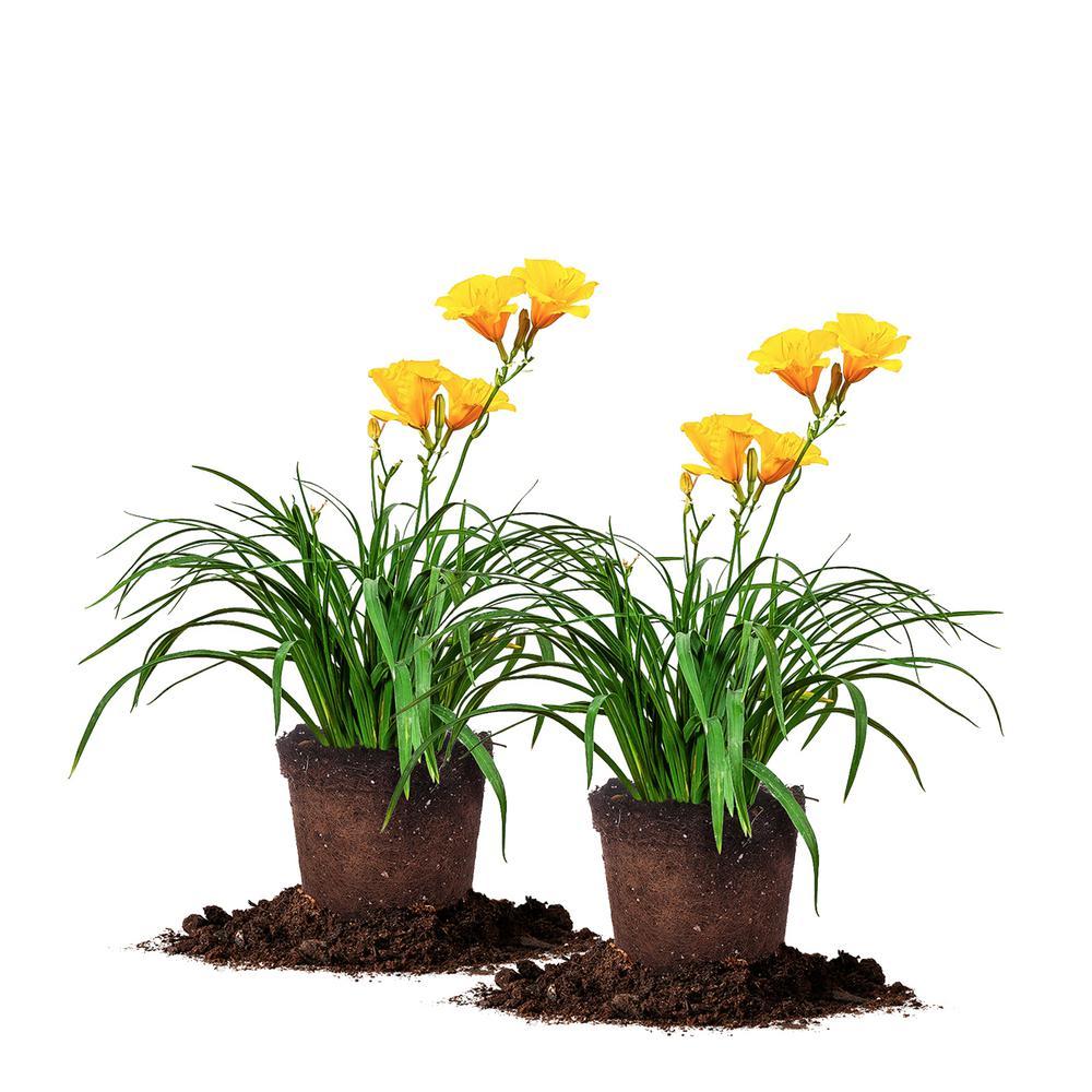 1 Gal. Stella D'Oro Daylily Plant (2-Pack)