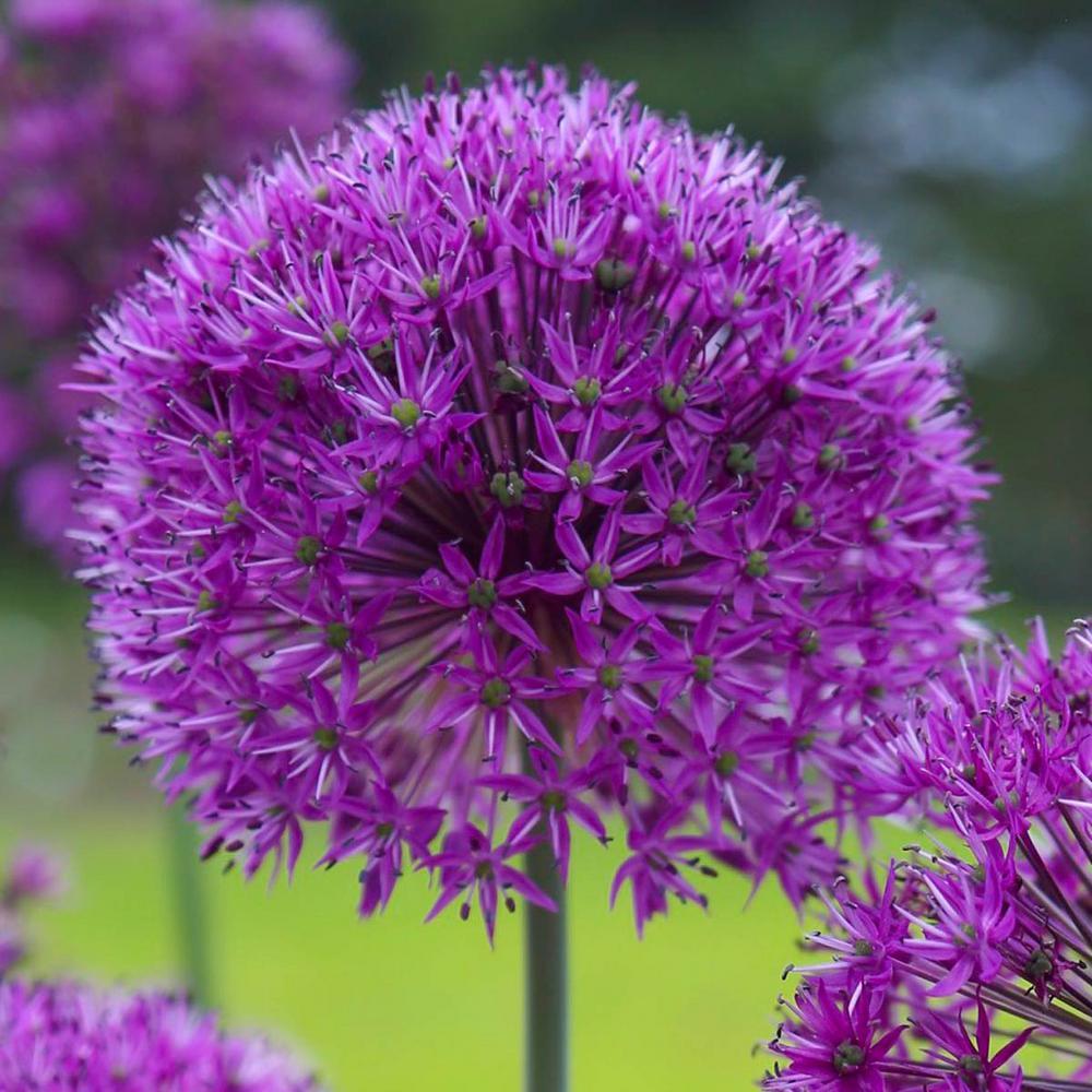 Longfield Gardens Allium Purple Sensation Bulbs 100 Pack 12000042