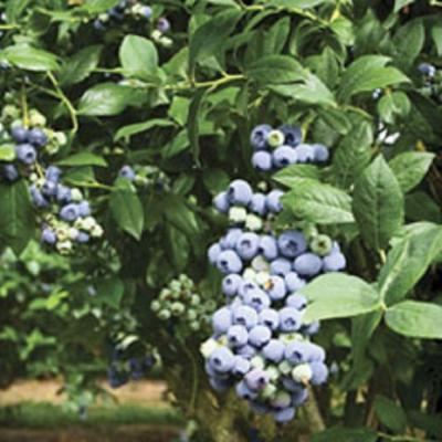 9.25 in. Tifblue Blueberry (Rabbiteye) Bush - Fruit-Bearing Shrub