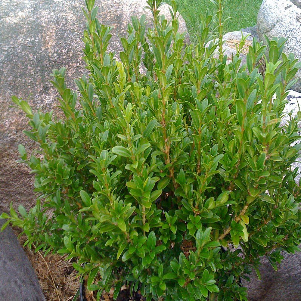 Onlineplantcenter 1 5 gal wee willie boxwood shrub for Garden shrubs