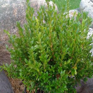 Onlineplantcenter 1 5 Gal Wee Willie Boxwood Shrub