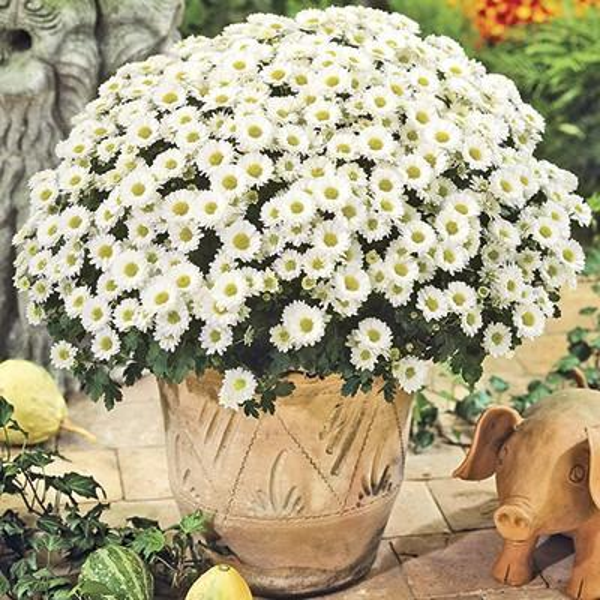 2.5 Qt. Mum Chrysanthemum Plant White Flowers in 6.33 In. Grower's Pot (4-Plants)