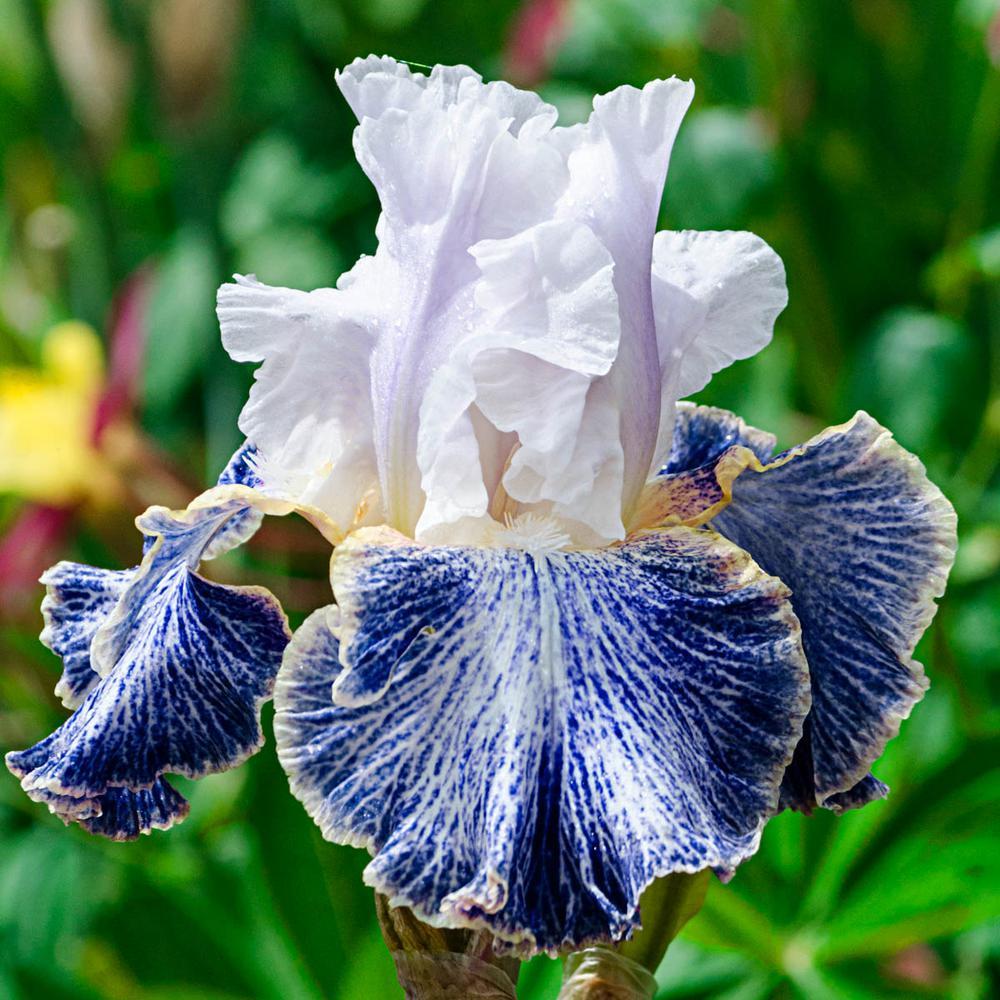 Vapor Bearded Iris White and Blue Flowers Live Bareroot Plant
