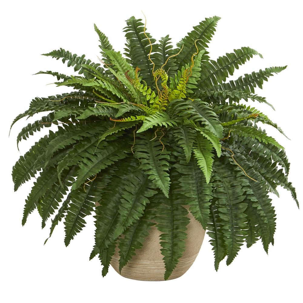 Image result for boston fern