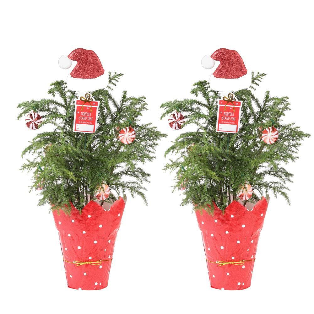 Costa Farms Fresh Norfolk Island Pine in 6 in. Grower Pot with Christmas Wrap and Topper (2-Pack)