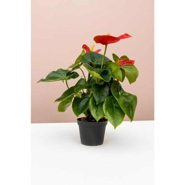 Flamingo Flower (Red Anthurium) Plant in 6 in. Grower Pot