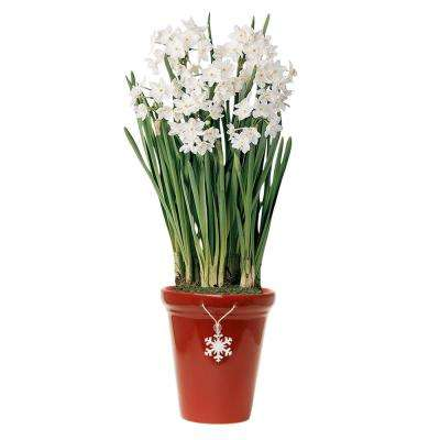 Ziva Paperwhite Narcissus Bulbs (17 CM+ / 25-Pack)