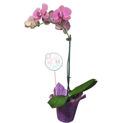 Mother's Day Orchid Plant in 4 in. Grower Pot with Wrap