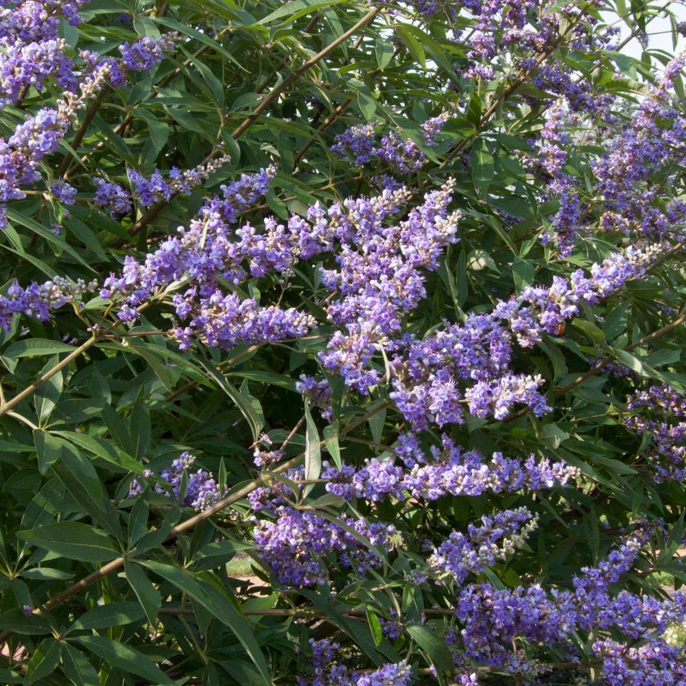 Delta Blues Chaste Tree Bareroot Plant