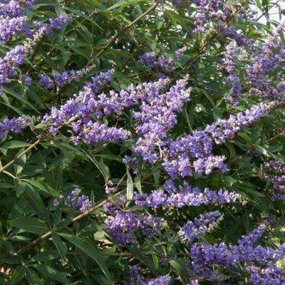 Delta Blues Chaste Tree (Vitex), Live Bareroot Plant, Blue Flowering Shrub (1-Pack)