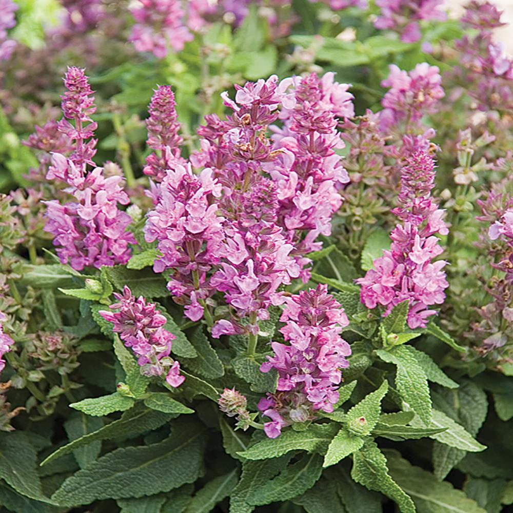 2.5 Qt. Marvel Pink Salvia Sage Plant