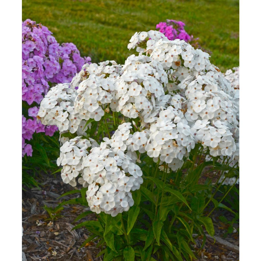Proven winners opening act white phlox live plant white flowers proven winners opening act white phlox live plant white flowers 065 gal mightylinksfo