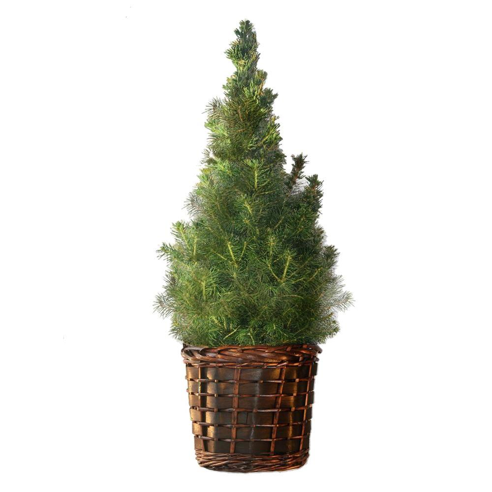 1 gal. Dwarf Alberta Spruce in Welcome Basket