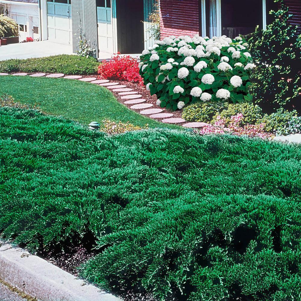 Spring Hill Nurseries 2.5 Qt. Blue Rug Juniper (Juniperus