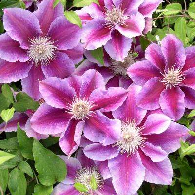 Killian Donahue Clematis, Live Bareroot Plant, Pink-Purple and White Flowering Vine (1-Pack)