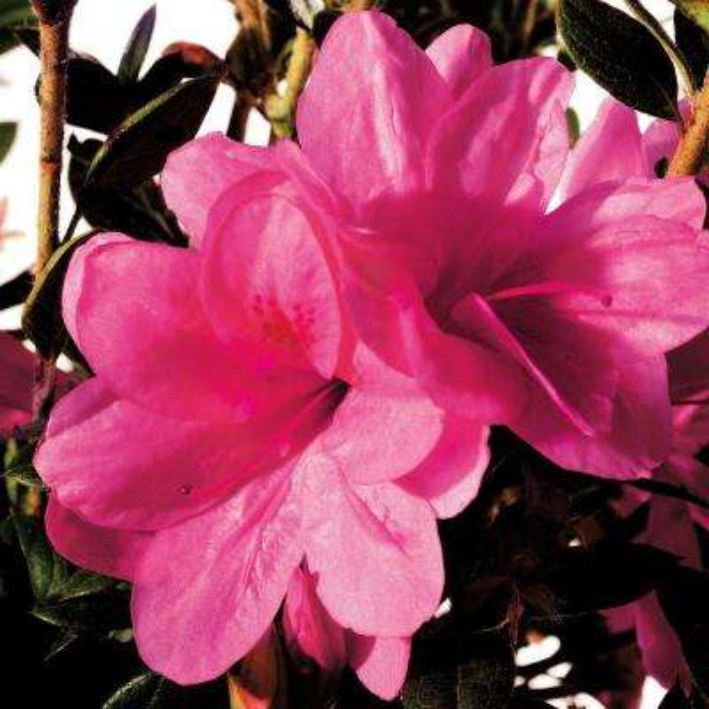3 Gal. Autumn Empress Encore Azalea Shrub with Medium Pink Reblooming Flowers