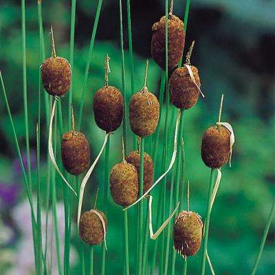 Premium Series Pond Marginal Typha Minima Mini Cattail Kit