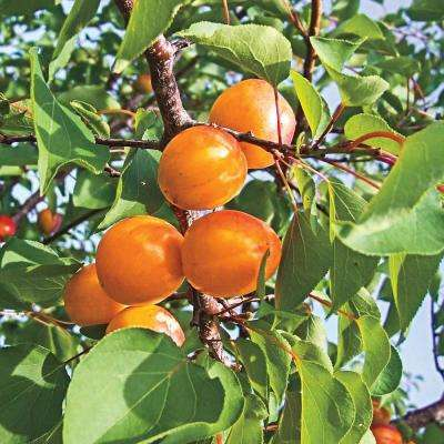 Honey Pearls Nectacot Prunus Live Fruiting Bareroot Deluxe Tree Kit (1-Pack)