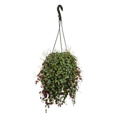 6 in. Peperomia Ruby Cascade Hanging Basket