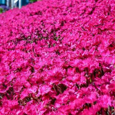 Vivid Bright Light Dianthus, Live Potted Perennial Plant 3 in. Pot