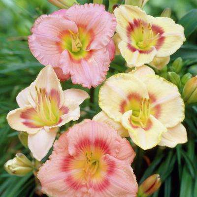 Daylilies Candy Mixed Roots (5-Pack)