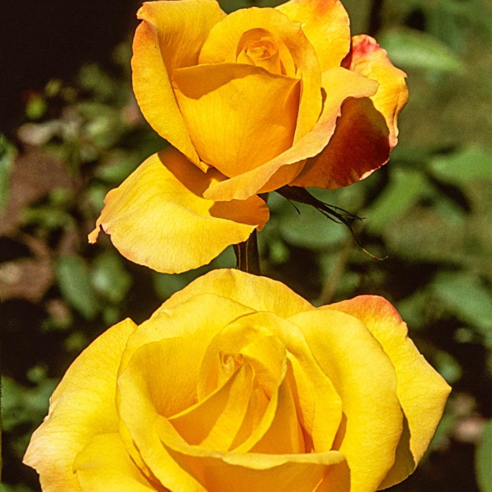 Spring Hill Nurseries Gold Medal Grandiflora Rose Live Bareroot