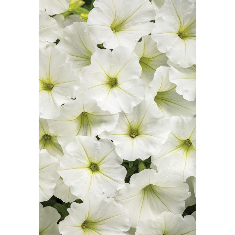 4.25 in. Grande Supertunia White Flowers Vista Snowdrift (Petunia) Live Plant (4-Pack)
