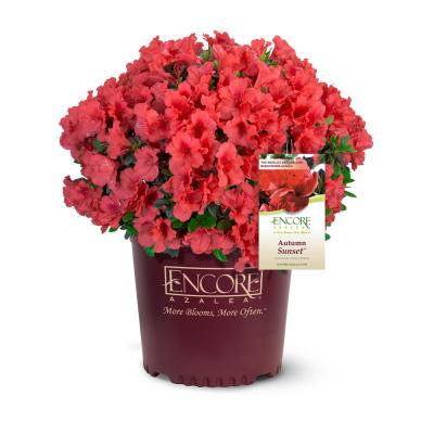 1 Gal. Autumn Sunset Shrub with Bright Red Flowers