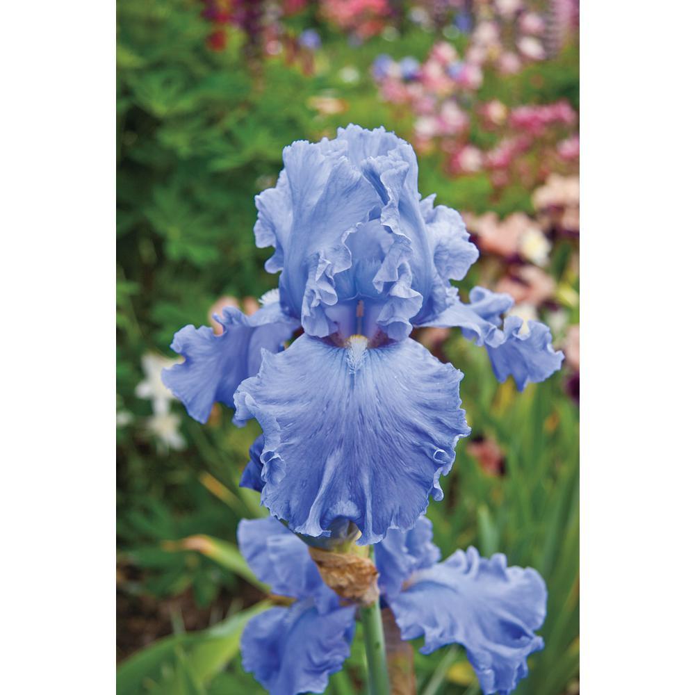 Brecks Fiesta In Blue Bearded Iris Blue Flowers Live Bareroot Plant