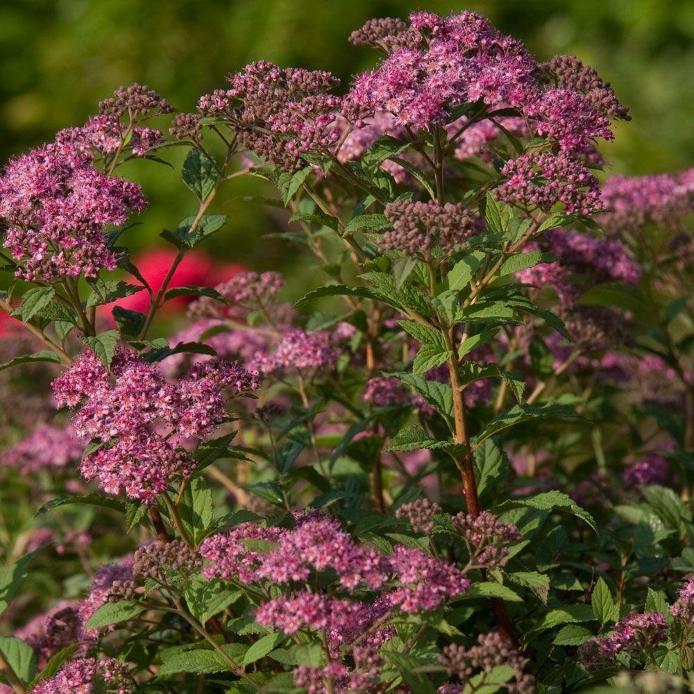 2 Gal. Little Bonnie Dwarf Spiraea, Live Deciduous Shrub, Clusters of Lavender-Pink Blooms