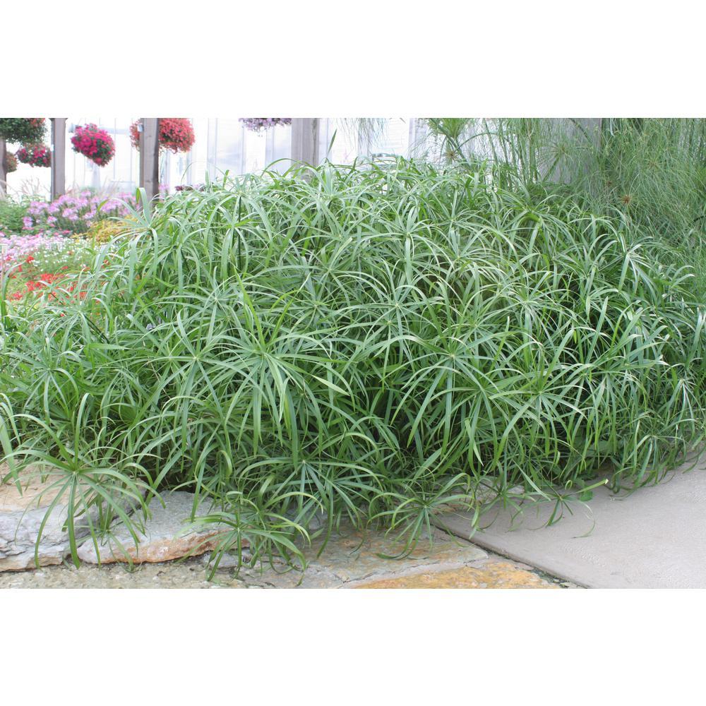 Proven Winners Graceful Grasses Baby Tut Umbrella Grass