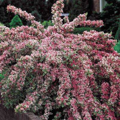 Variegated Weigela Live Bareroot Plant Pink Flowers and Green/White Variegated Foliage (1-Pack)