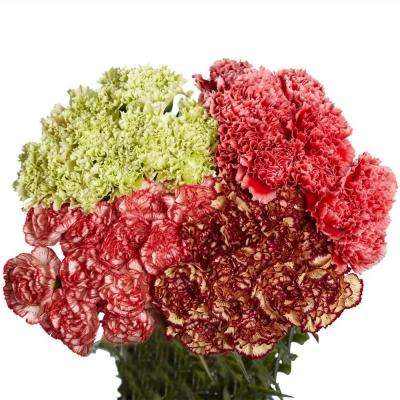 Fresh Novelty Assorted Carnations (200 Stems)